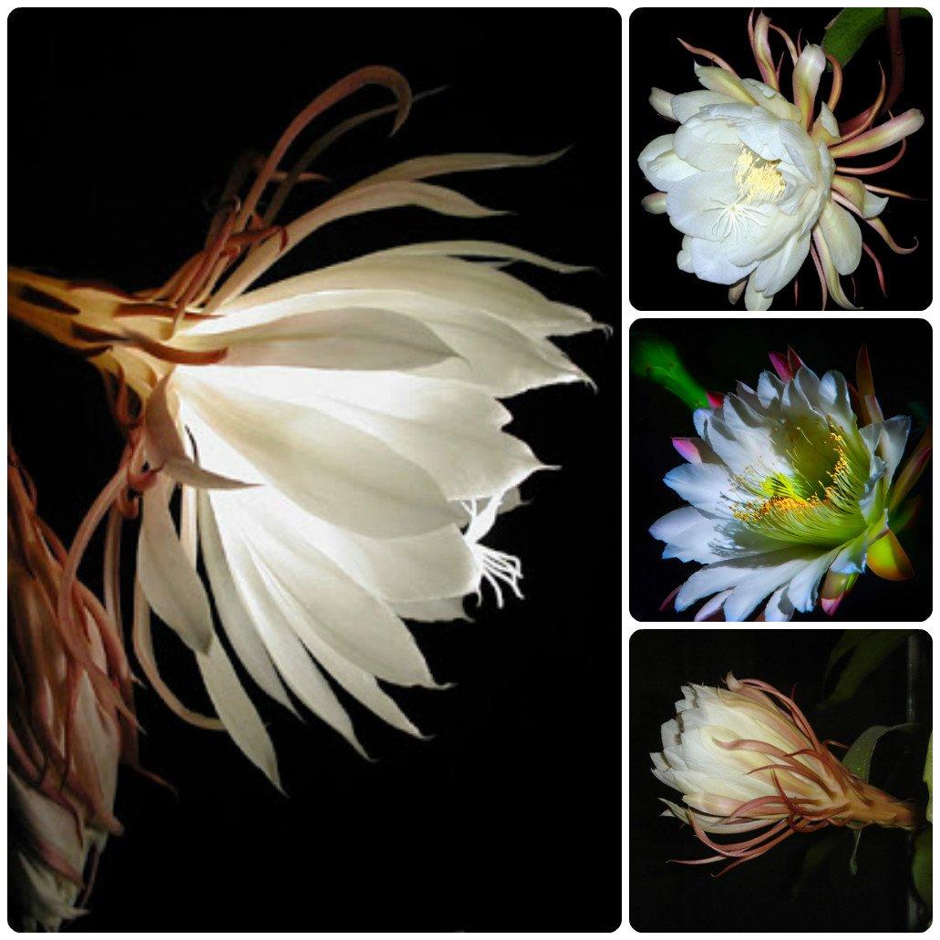 Нічний квітка